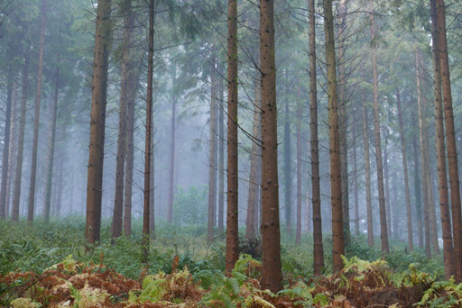 wood in mist - Devon